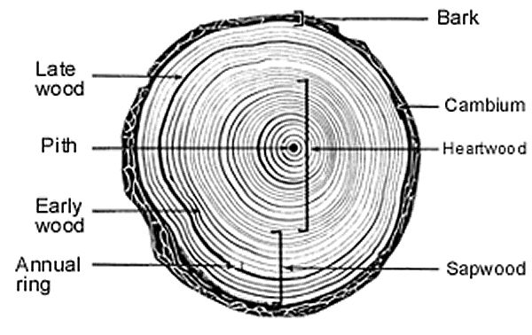 tree rings diagram