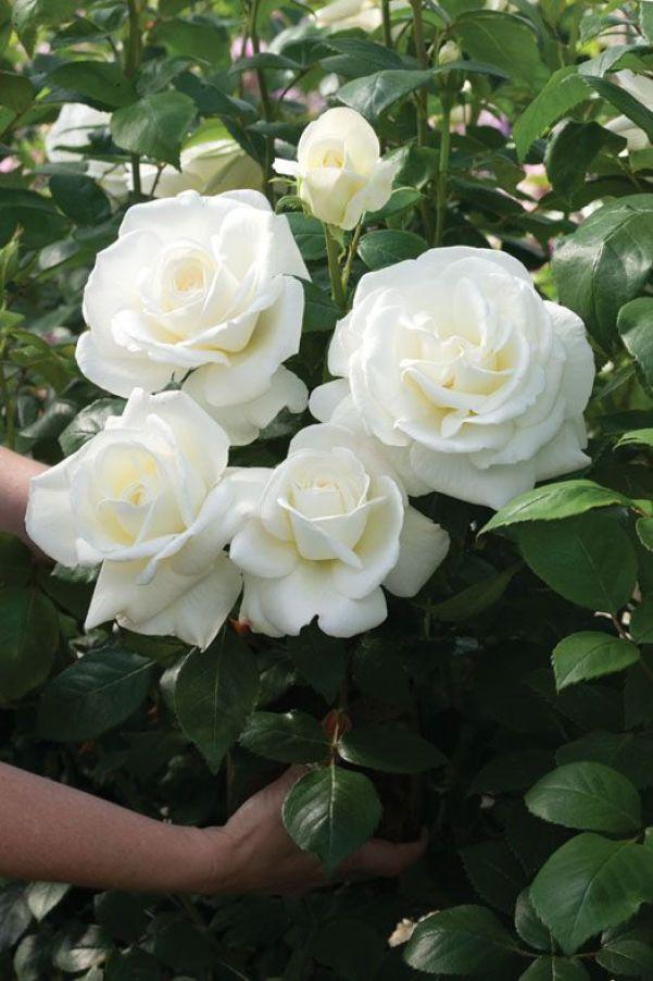 Molte specie di rose non tollerano le temperature elevate per l'interna giornata, è bene quindi non piantarle in zone del giardino orientate ad ovest e sud-ovest