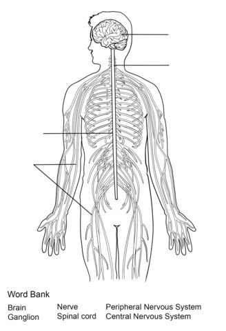 Nervous System Worksheet coloring page from Anatomy