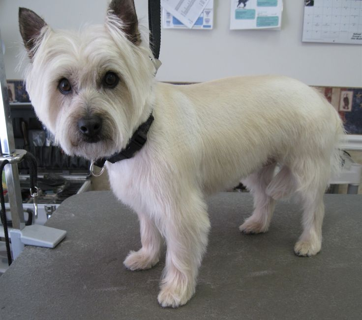 Cairn Terrier After Grooming This Is A Great Cut For Or