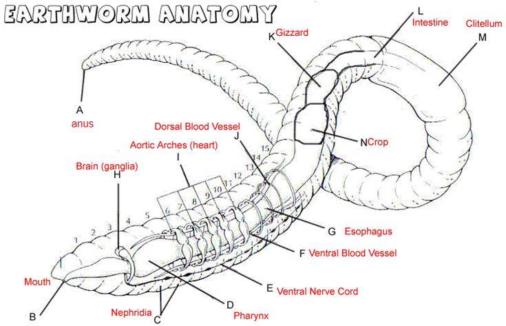 earthworm diagram worksheet redline brake controller wiring worm dissection - google search | urban garden initiative pinterest biology and anatomy