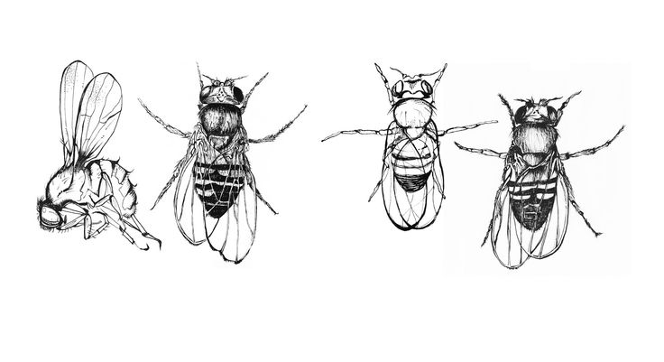 17 Best images about Drosophila are so fly on Pinterest