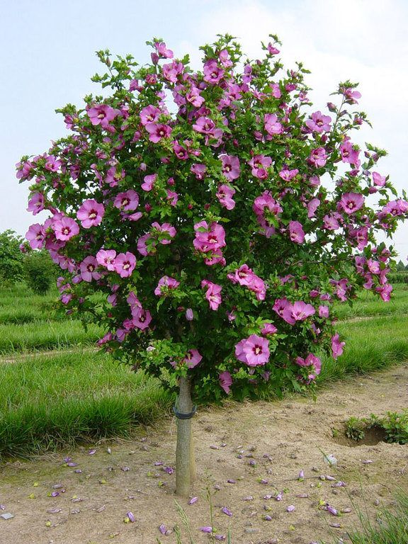 25 Hibiscus Trees Landscaping Pictures And Ideas On Pro Landscape