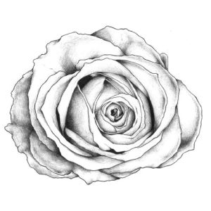 rose drawings drawing tattoos tattoo pencil roses simple drawn draw yellow library clipart rose1 floribunda flowers