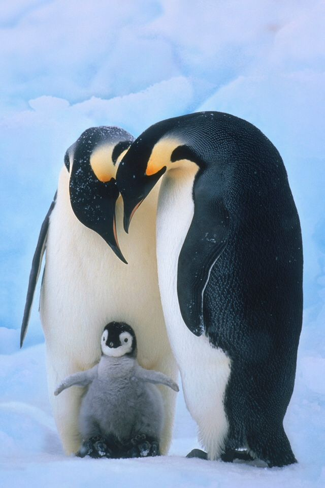 Mother father and baby penguin  Cute  Pinterest  Baby