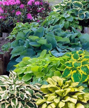 hosta - easy shade loving perennial