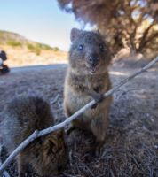 47 best images about Quokka wallaby on Pinterest   Quokka ...