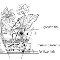 Lotus In Water Plant Diagram 2001 Ford Escape Parts 17 Best Images About Research - Lotus/nelumbo Necifera On Pinterest | Taxus Baccata, ...