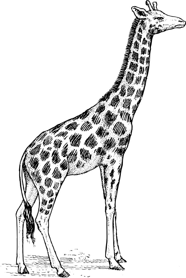Line art, Giraffes and Tatoo on Pinterest