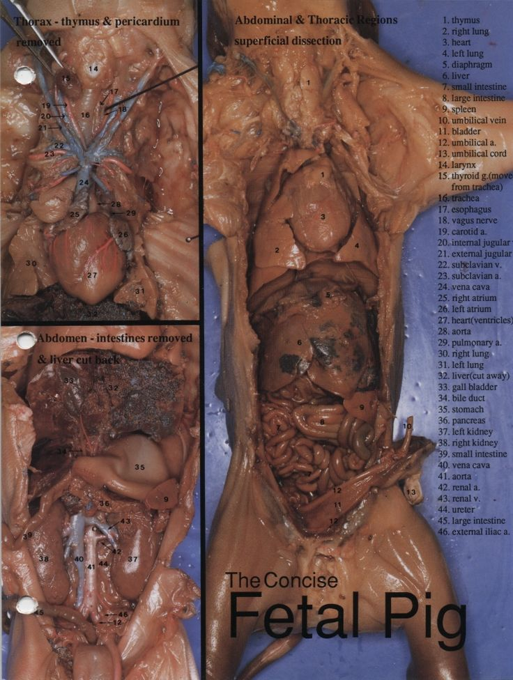 fetal pig dissection diagram labeled gift of magi plot concise | stem - life science pinterest pigs
