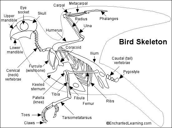 Bird Skeleton Printout- bird bones are hollow--if can have