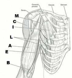 1000+ images about Muscles on Pinterest