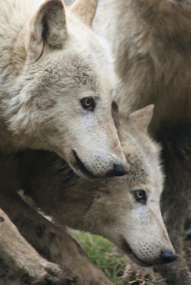 1000 ideas about White Wolves on Pinterest  Wolves Gray