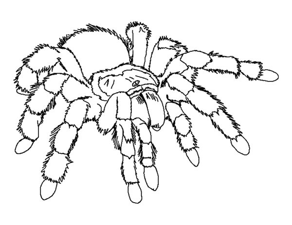 Spider color page, animal coloring pages, color plate