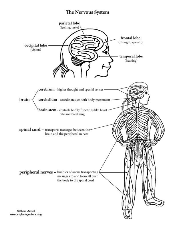 17 Best images about Nervous System on Pinterest