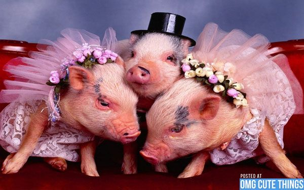 Sweet Baby Girl Wallpaper For Facebook Pigs In Costumes Pigs Photos Costumes Baby Animals Anna