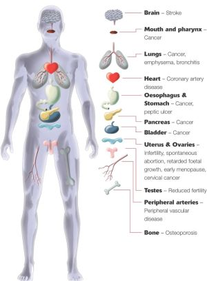 Major Organs Of The Human Body For Kids Human body anatomy