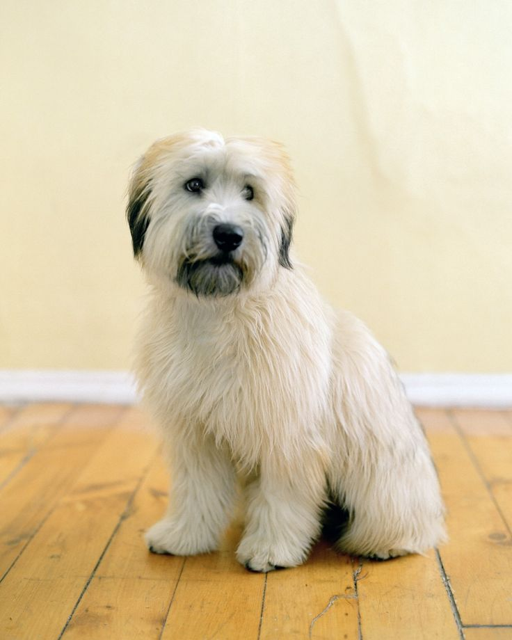 You Terrier Soft Why Should Wheaten Coated Get