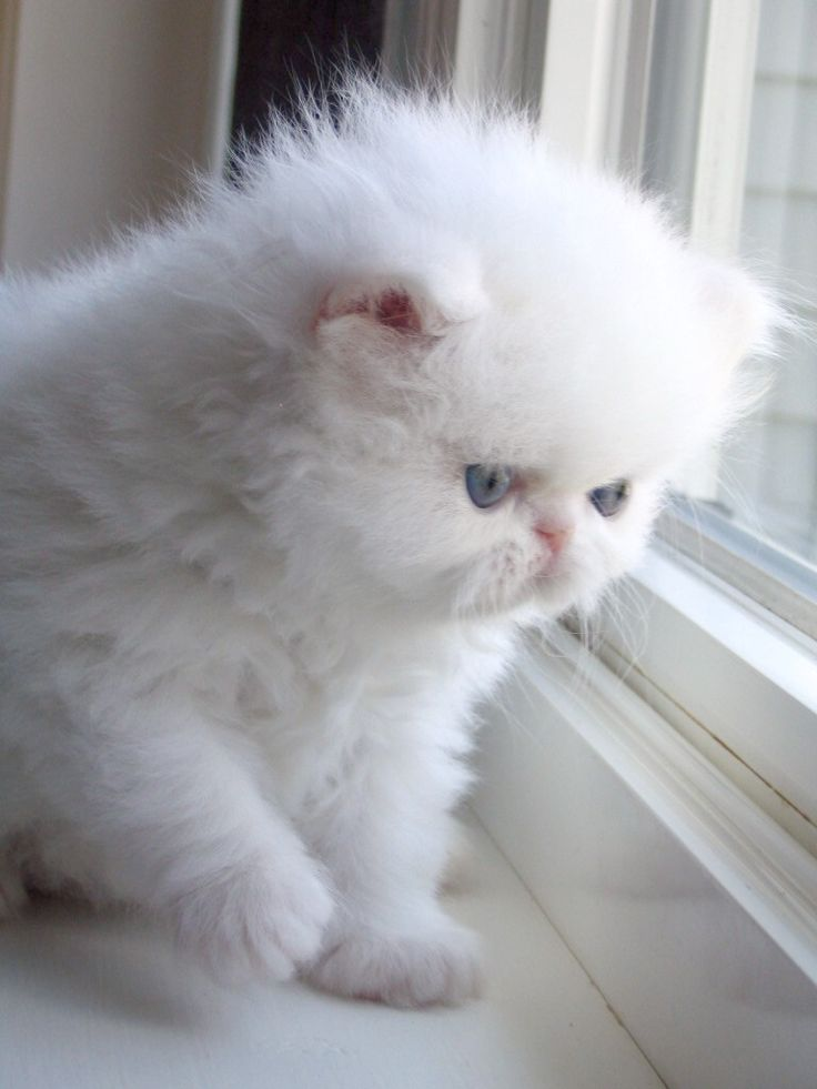 25 best ideas about White cats on Pinterest Pretty cats