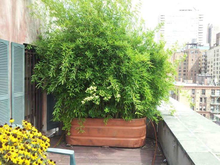 Bambus Im Kubel Als Sichtschutz Auf Einem Balkon