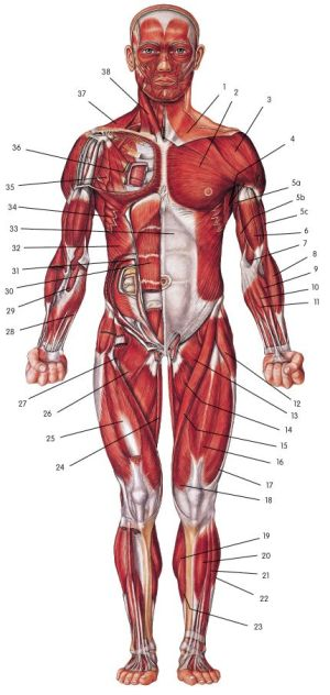 The muscle diagram unlabled http:papasteves | Gluten free food | Pinterest | The muscle