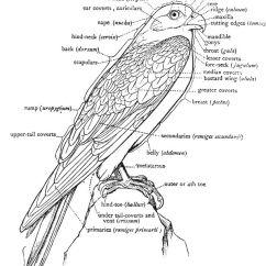 Peacock Bird Diagram Rv Solar Kit Wiring Falcon Body Parts | Raptors Pinterest Falcons, And Birds