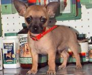 short-haired chihuahua