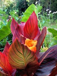 1000+ ideas about Canna Lily on Pinterest | Canna lily ...