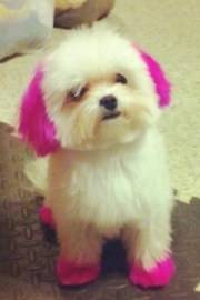 maltese with dyed hair pets