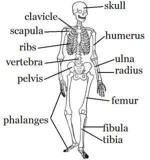 skeletal system | Mostly Science | Pinterest | Crafts