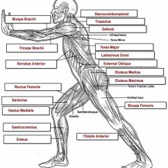 Cat Dissection Muscle Diagram Back Carrier Economizer Wiring Http://www.biologycorner.com/anatomy/muscles/muscles_labeling/muscles_overall_label_key.jpg ...