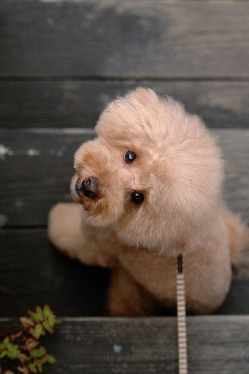 67 best images about Asian Fusion Grooming on Pinterest | Poodles. Toy poodles and Dog grooming