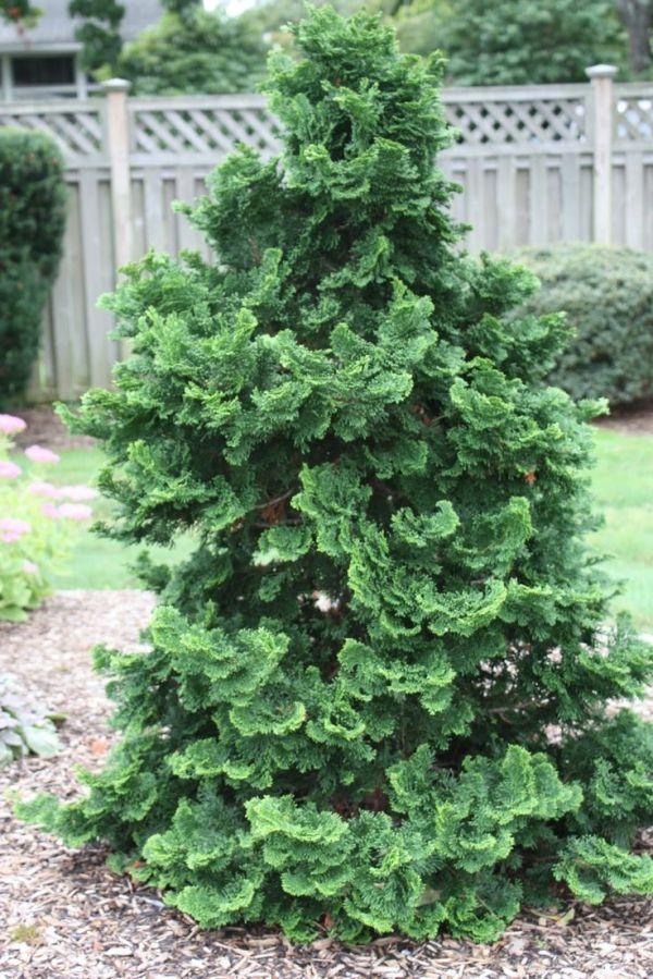 golden mop cypress dwarf shrub