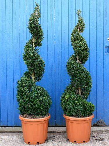 spiral evergreen shrubs landscaping