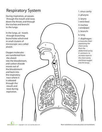 123 Best images about Respiratory System on Pinterest
