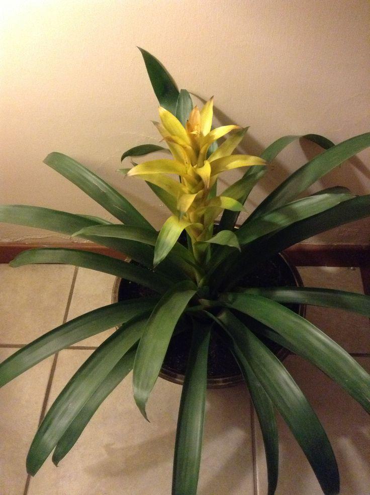 Bromelia planta de sombra bellisima  Plantas de interior
