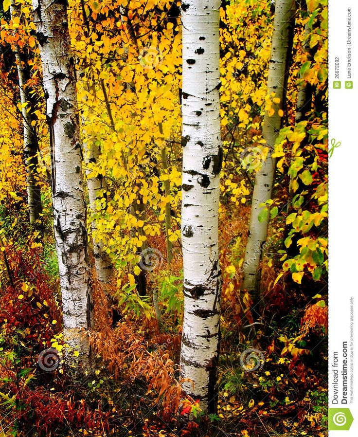 Birch Tree Fall Wallpaper Close Up 1000 Images About Four Seasons Of Birch Trees On