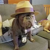 1000+ ideas about Bulldog Costume on Pinterest | English ...