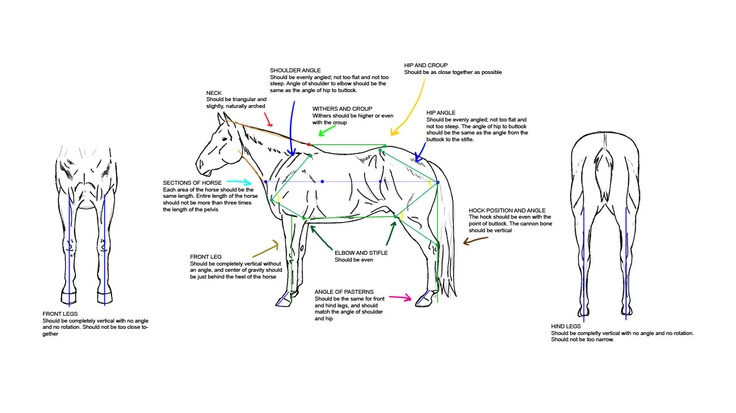 60 best images about Horse- Conformation on Pinterest