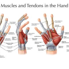 Palmar Hand Muscle Anatomy Diagram 1997 Ford F150 Stereo Wiring There Are No Muscles In The Fingers, And Palm Of For Moving ...