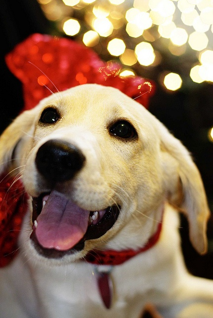 Christmas Dog I Smile When My Human Say Its Almost