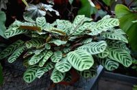 Prayer Plant (Calathea insignis) Additional Common Names ...