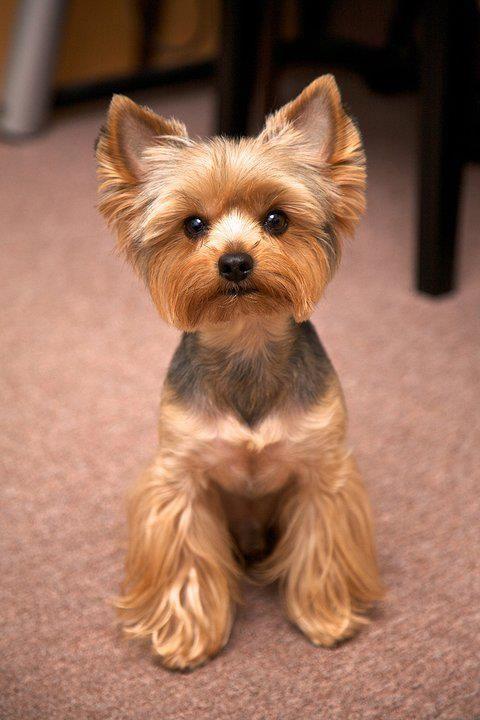 Best 25 Yorkshire Terrier Haircut Ideas On Pinterest Yorkshire