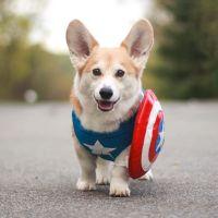 Best 25+ Corgi costume ideas on Pinterest | Corgi puppies ...