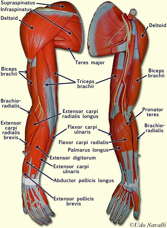 gluteus muscles diagram pain hiniker snow plow wiring left arm muscle model labeled - google search | anatomy pinterest models, and