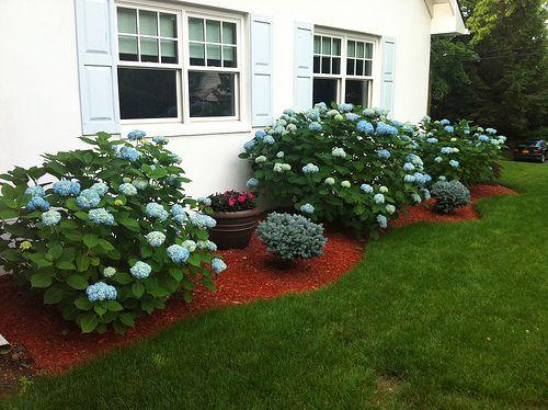 Hydrangea Bushes Around House Google Search