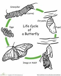 Worksheets: Color the Life Cycle: Butterfly | Homeschool ...