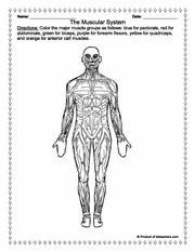 Worksheets, Anatomy and Muscular system on Pinterest