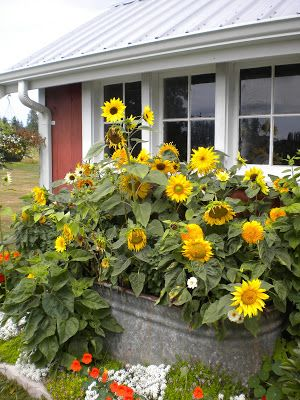 25 Best Ideas About Growing Sunflowers Outdoors On Pinterest
