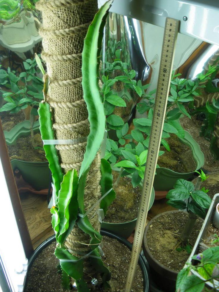 17 Best Ideas About Dragon Fruit Cactus On Pinterest